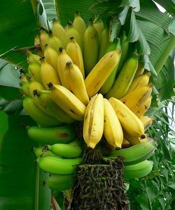 Banana8161_2